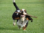 Basset Hounds Running With Steve Buscemeyes 1