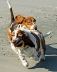 Basset Hounds Running With Steve Buscemeyes 2