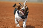 Basset Hounds Running With Steve Buscemeyes 4