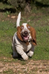 Basset Hounds Running With Steve Buscemeyes 7