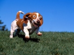Basset Hounds Running With Steve Buscemeyes 8
