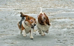 Basset Hounds Running With Steve Buscemeyes 9